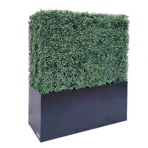 boxwood hedge 48