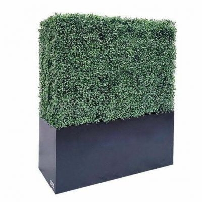 boxwood hedge 48